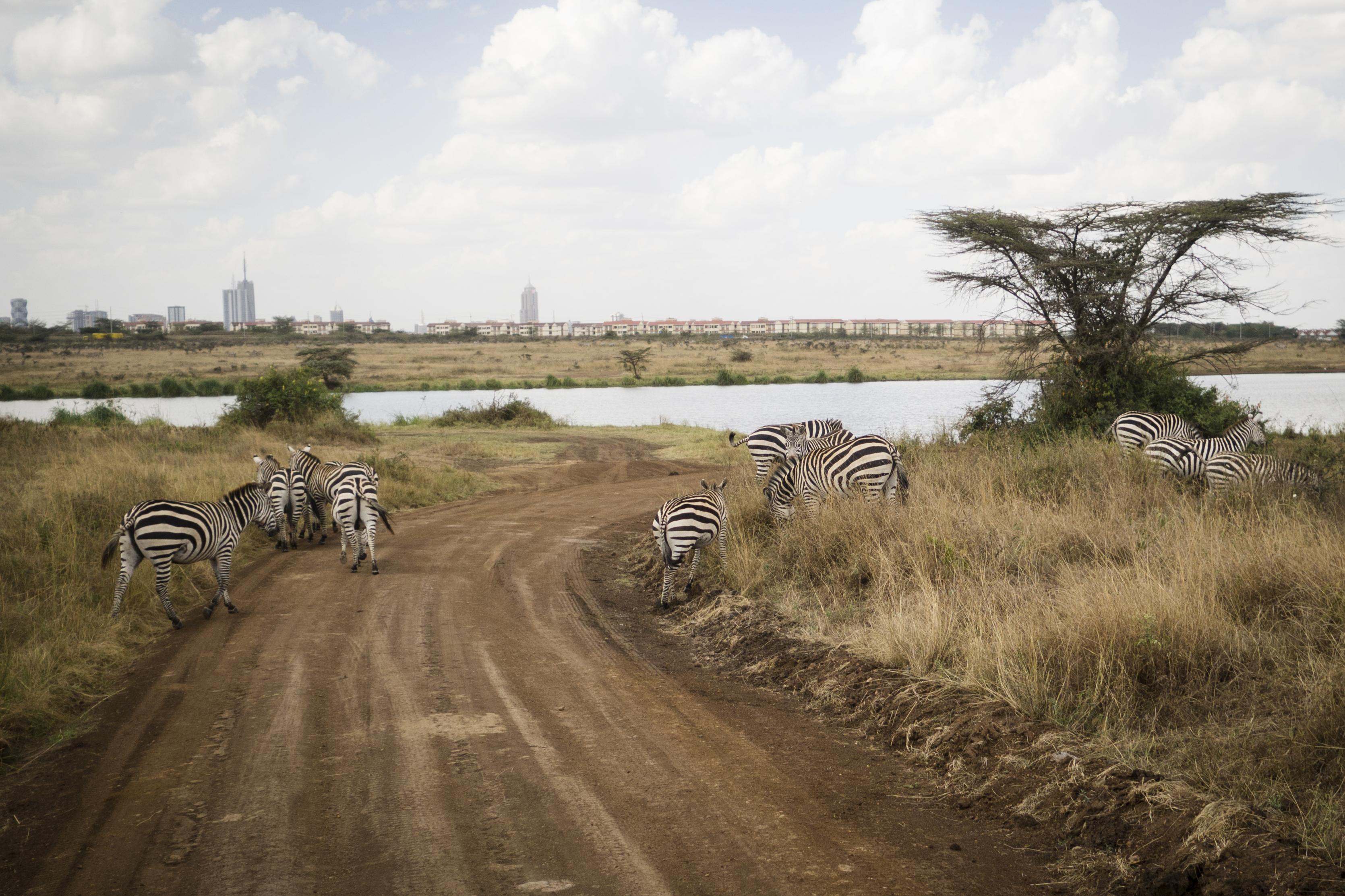 Der ligger en safaripark klods op af Nairobi.